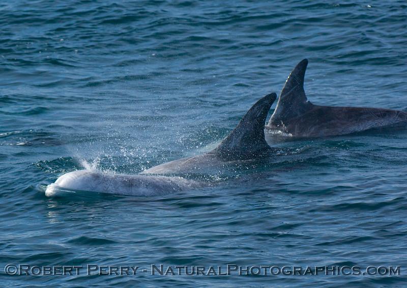 Risso's Dolphins (Grampus griseus); one spouting.