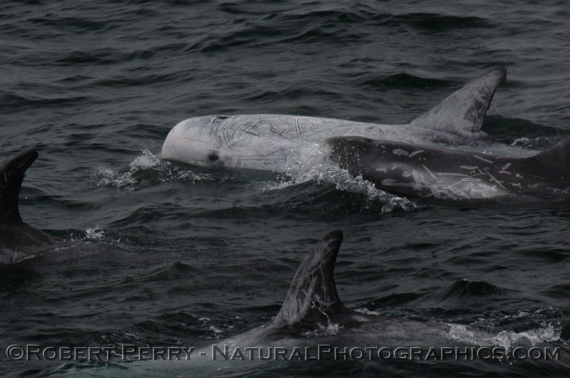 A group of 3 Risso's Dolphins.