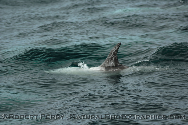 Tall dorsal fin of a Risso's Dolphin in green-blue water.