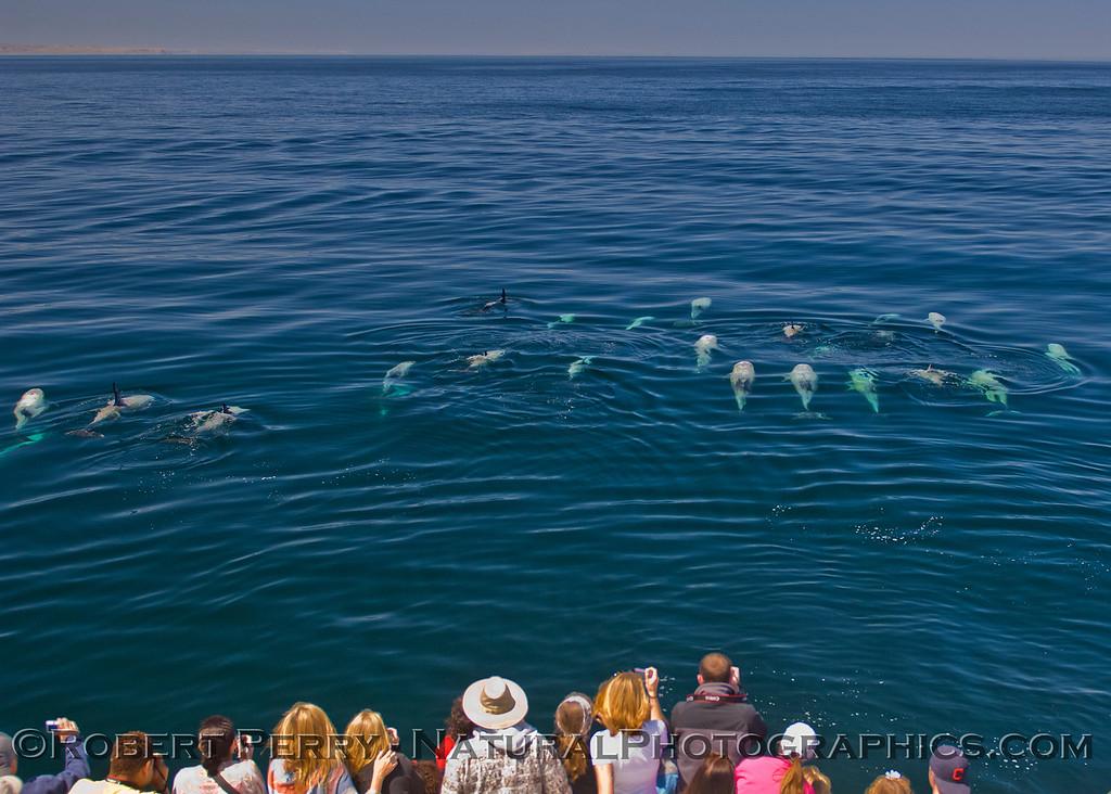 Grampus griseus herd glassy ocean 2011 05-02 SB Channel b - 022
