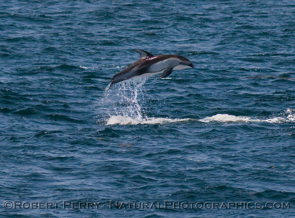 Pacific white-sided dolphin jumps for joy?