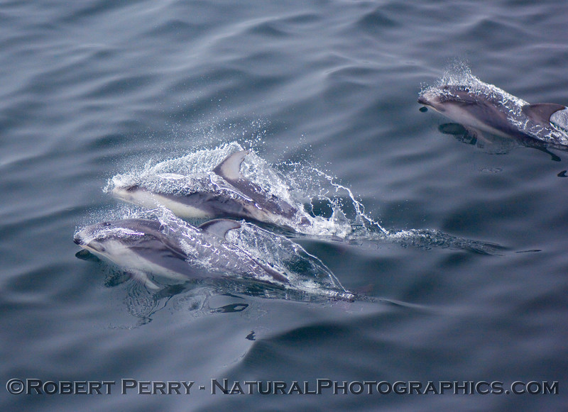Three Pacific white-sided dolphins break the surface.
