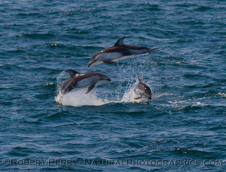 Pacific white-sided dolphins leaping amok.