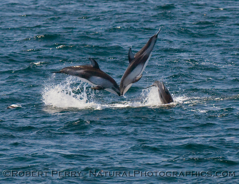 Pacific white-sided dolphins going head to head.
