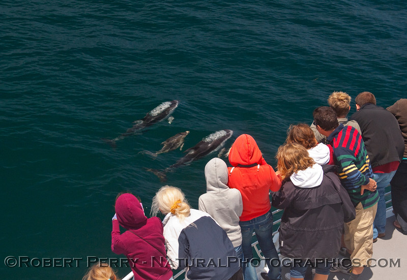 Whalers enjoy a close approach by two adults and a calf.