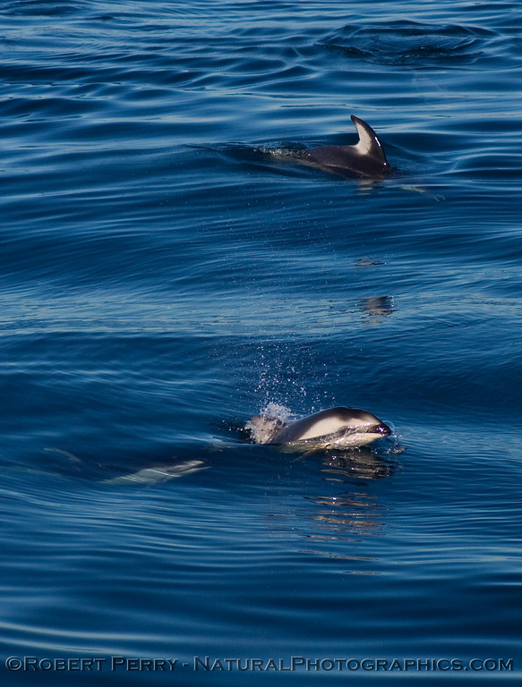 A few Pacific white-sided dolphins on the surface.