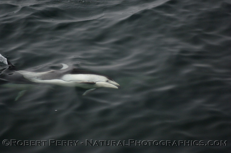 A Pacific white-sided dolphin rolls over and takes a peak at the camera guy up on the boat.