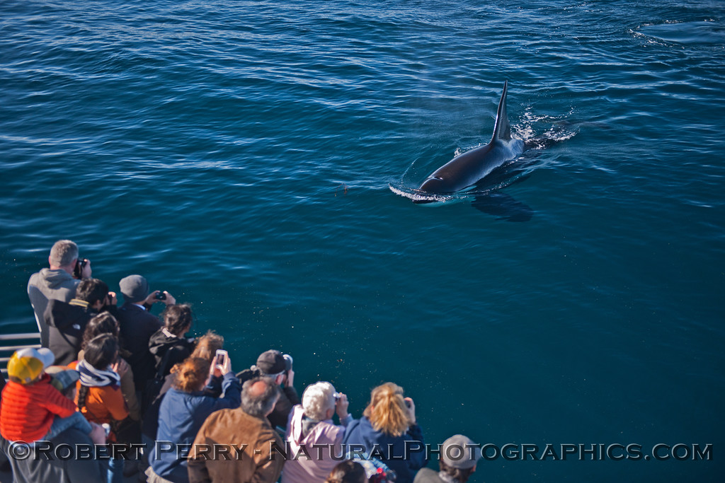 Orcinus orca & passengers 2013 12-30 SB Channel-c-019