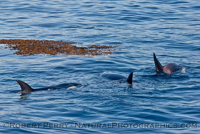 Orcinus orca & Macrocystis 2013 12-30 SB Channel-127