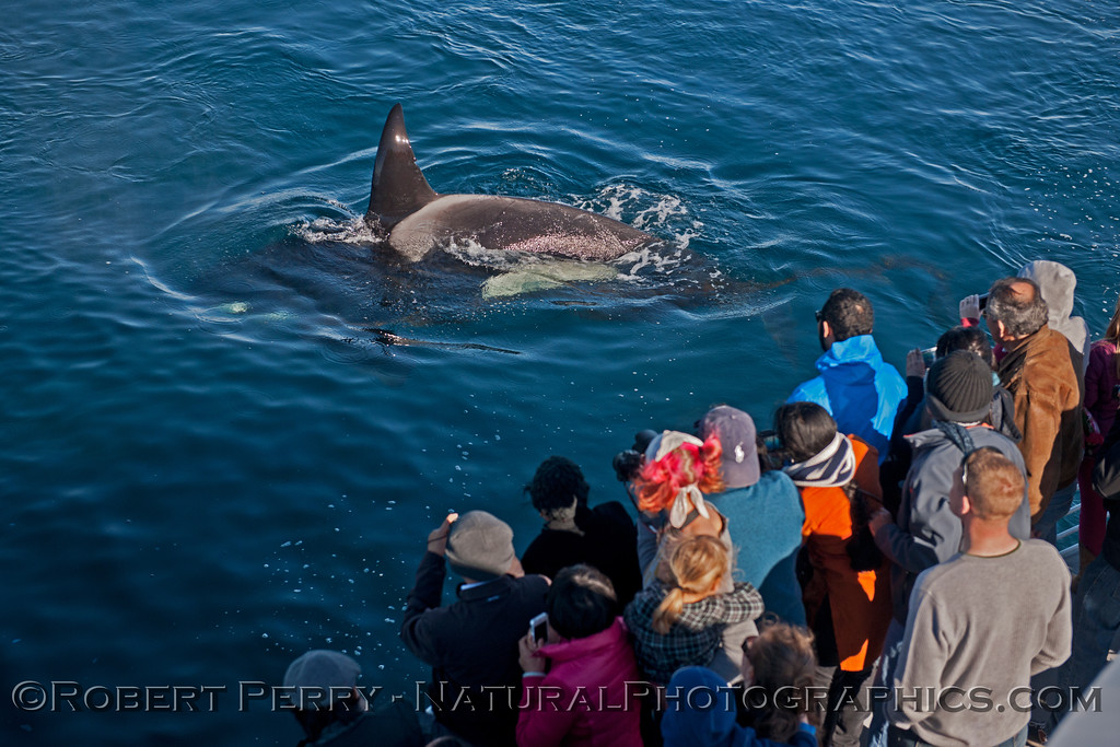 Orcinus orca & passengers 2013 12-30 SB Channel-b-016