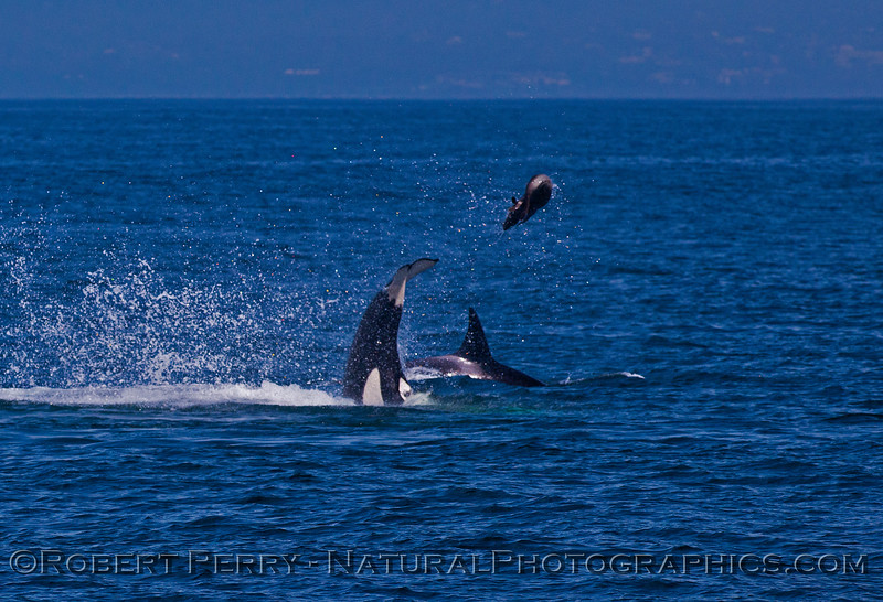 Orcinus orca feeding throwing Mirounga angustirostris 2016 04-19 Monterey Bay-b-008