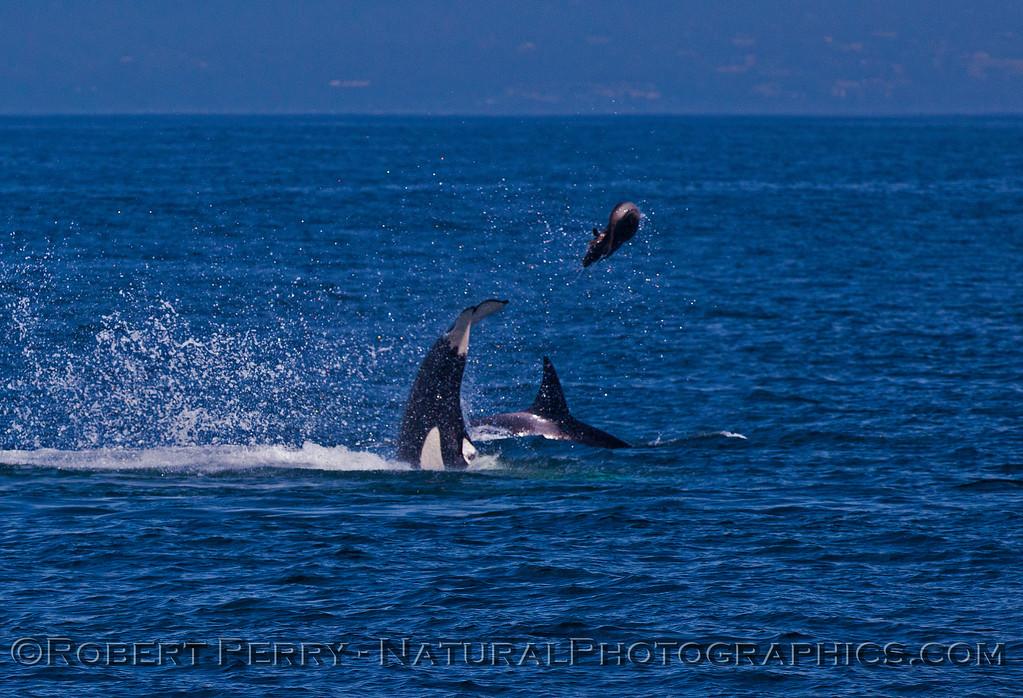 Orcinus orca feeding throwing Mirounga angustirostris 2016 04-19 Monterey Bay-b-008