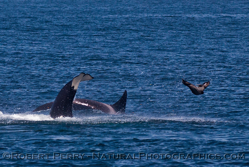 Orcinus orca feeding throwing Mirounga angustirostris 2016 04-19 Monterey Bay-010