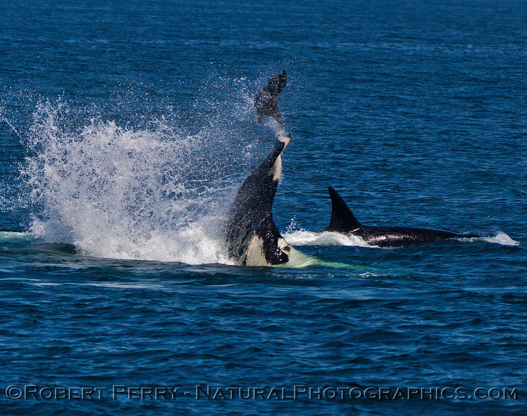 Orcinus orca feeding throwing Mirounga angustirostris 2016 04-19 Monterey Bay-006