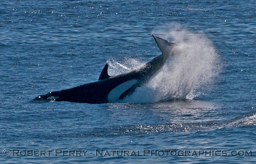 Orcinus orca tail throw 2013 12-30 SB Channel-1346