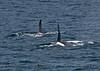 Orcinus orca 2 tall dorsal fins 2016 09-13 SB Channel -b-020