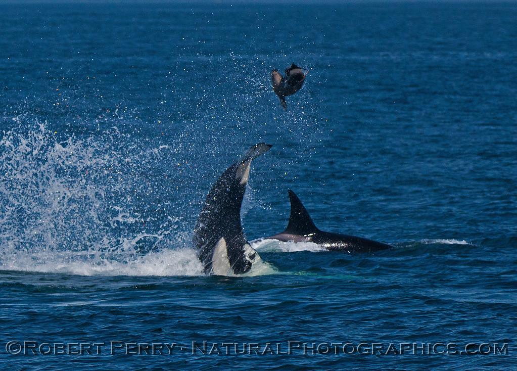 Orcinus orca feeding throwing Mirounga angustirostris 2016 04-19 Monterey Bay-007