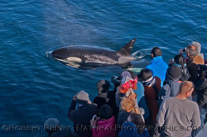 Orcinus orca & passengers 2013 12-30 SB Channel-b-013