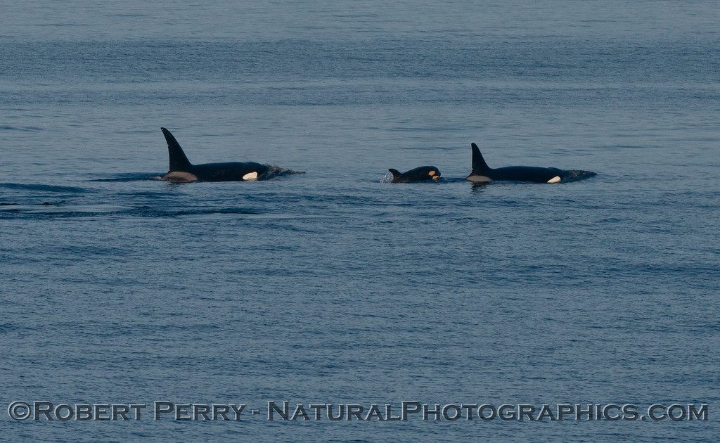 Orcinus orca 2013 12-27 SB Channel-466