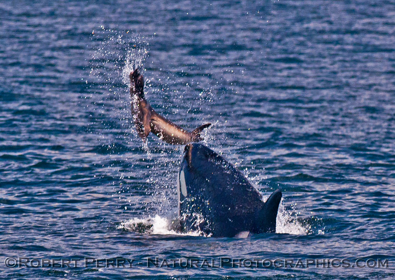 Orcinus orca feeding throwing Mirounga angustirostris 2016 04-19 Monterey Bay-017