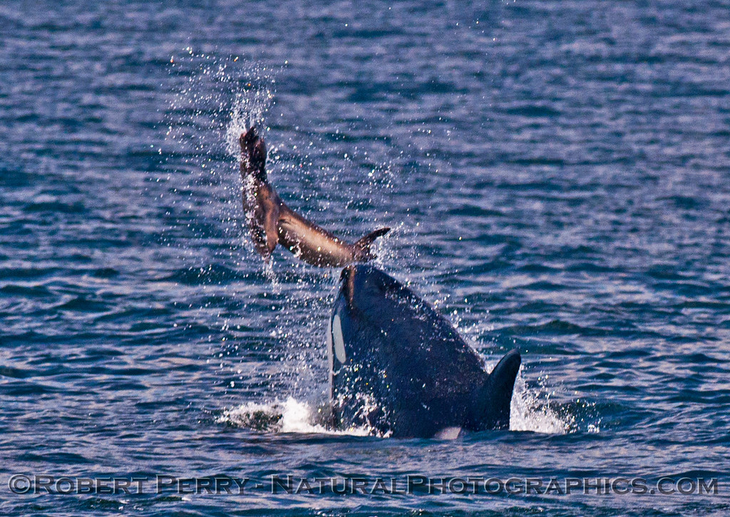 Orcinus orca feeding throwing Mirounga angustirostris 2016 04-19 Monterey Bay-017