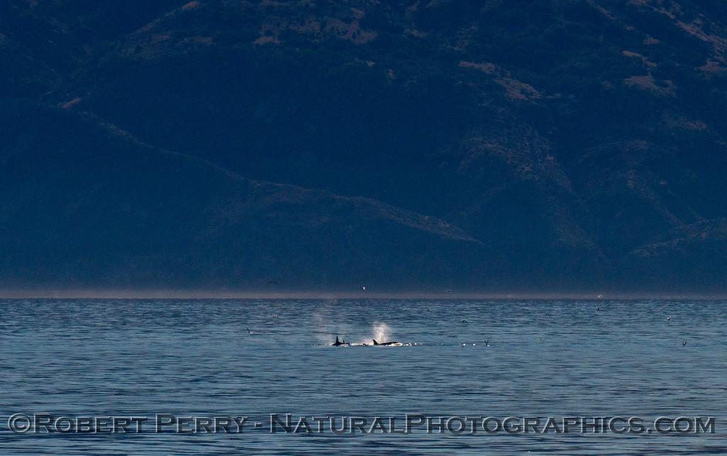 Orcinus orca Sta Cruz Isl 2013 12-27 SB Channel-010