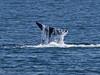Orcinus orca tail fluke 2016 04-19 Monterey Bay-145