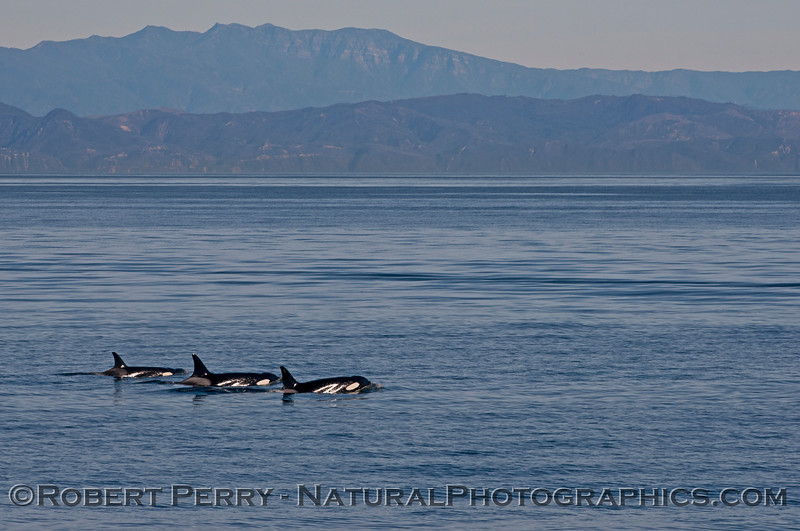 Orcinus orca 3 mainland in back 2013 12-27 SB Channel-416