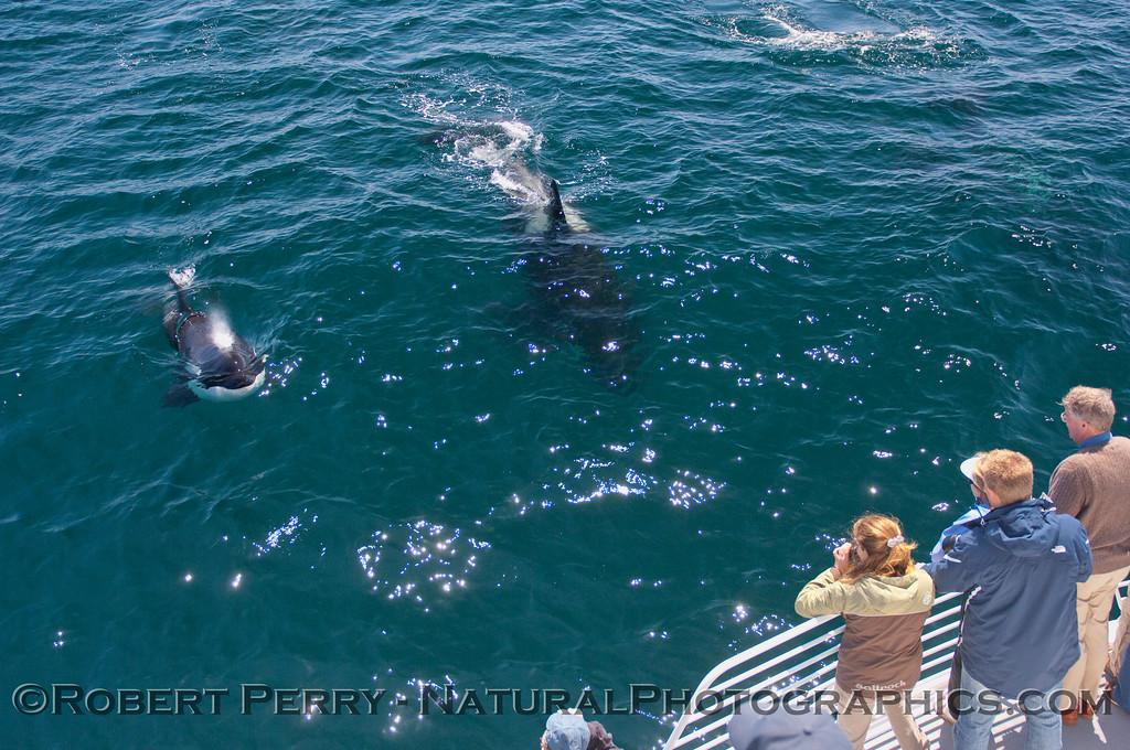 Orcinus orca & passengers 2010 09-09 SB Channel b - 081