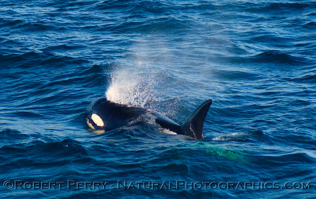 Male Orcinus orca, spouting;  photo taken in the Santa Barbara Channel.