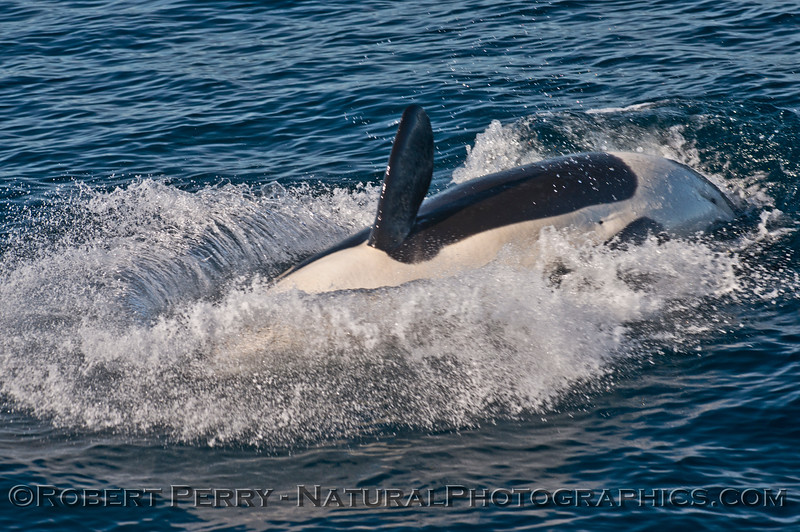 Orcinus orca 2013 12-30 SB Channel-449