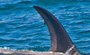 Orcinus orca male dorsal fin with ectoparasites 2016 09-13 SB Channel -050