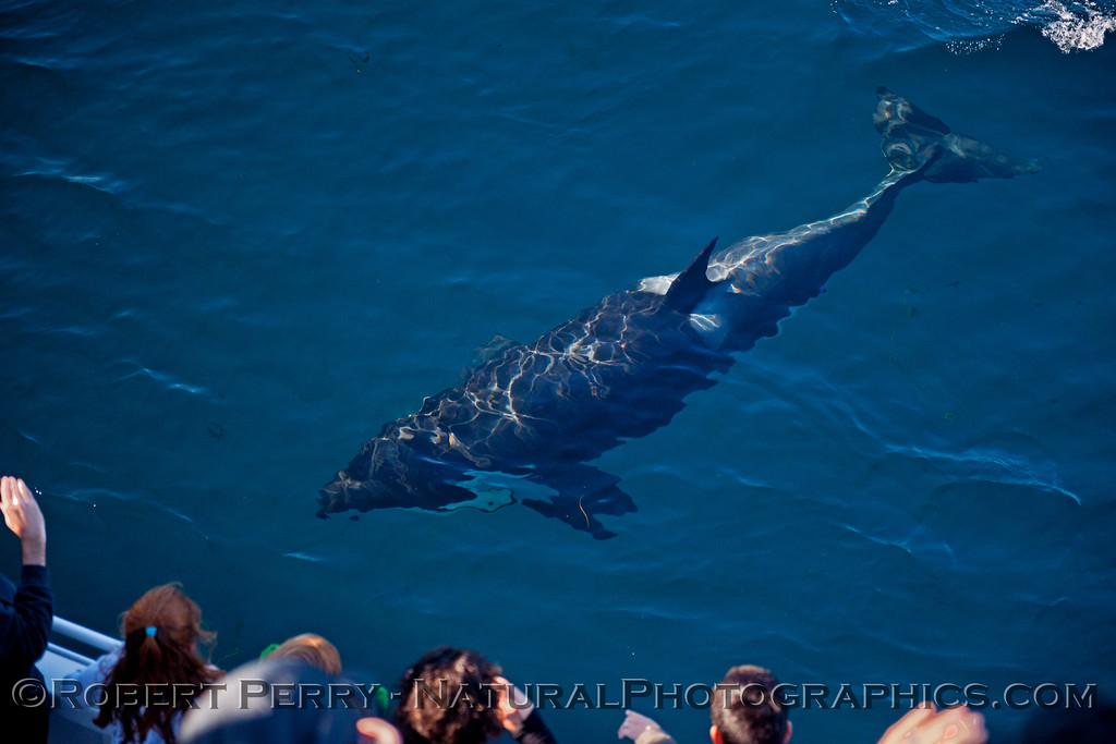 Orcinus orca & passengers 2013 12-30 SB Channel-b-001