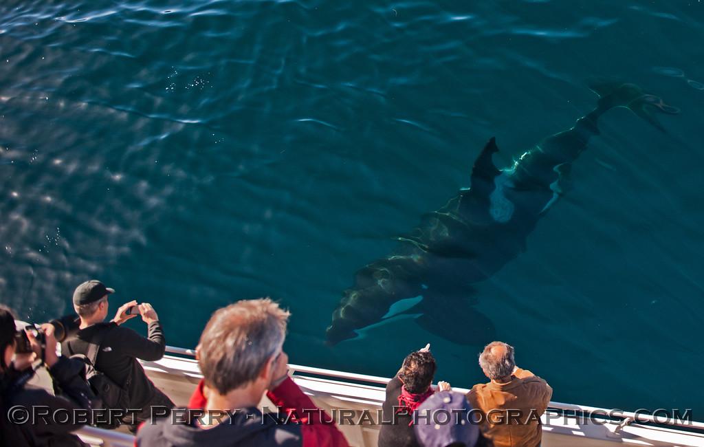 Orcinus orca UW & passengers 2013 12-30 SB Channel-a-025