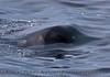 Orcinus orca juv head UW 2016 04-19 Monterey Bay-267