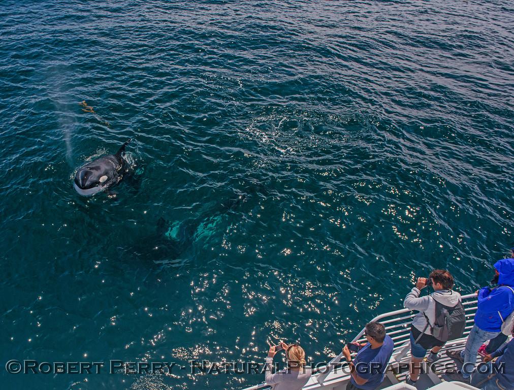Orcinus orca & passengers 2016 09-13 SB Channel -a- 059