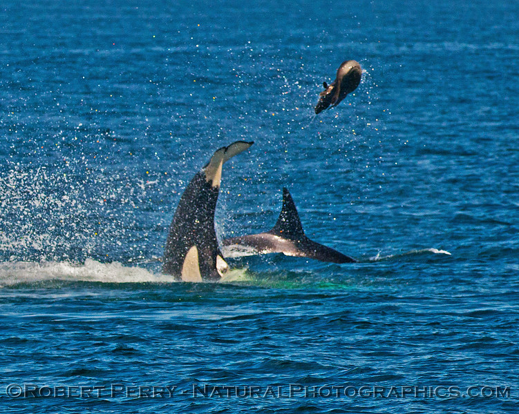 Orcinus orca feeding throwing Mirounga angustirostris 2016 04-19 Monterey Bay-008
