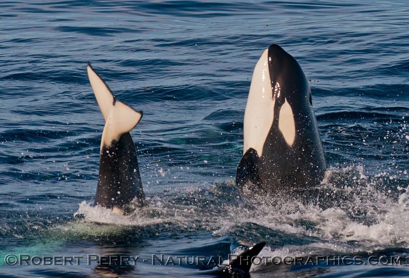 Orcinus orca spyhop 2013 12-30 SB Channel-h-002