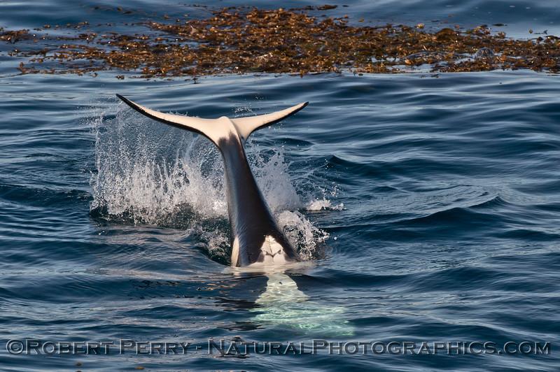 Orcinus orca upside down tail slap Phoca vitulina in Macrocystis  2013 12-30 SB Channel-342