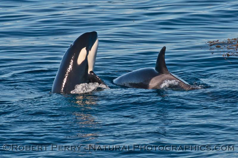 Orcinus orca spyhop 2013 12-30 SB Channel-j-001