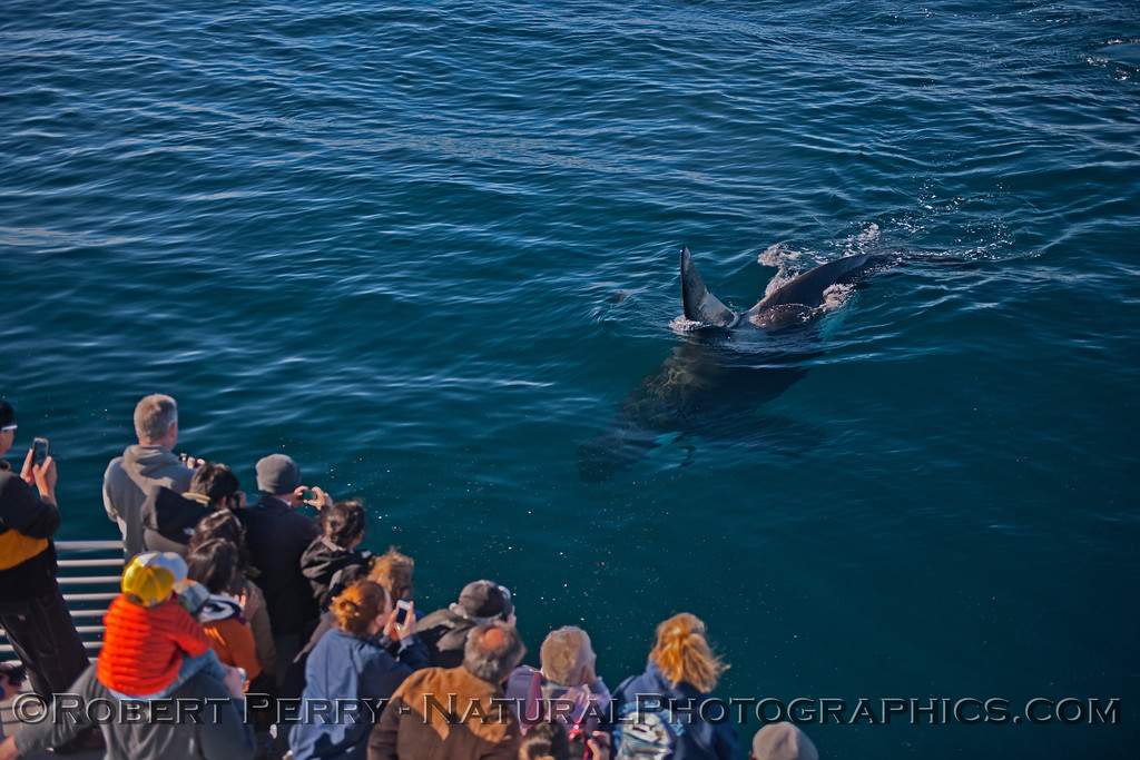 Orcinus orca & passengers 2013 12-30 SB Channel-c-022