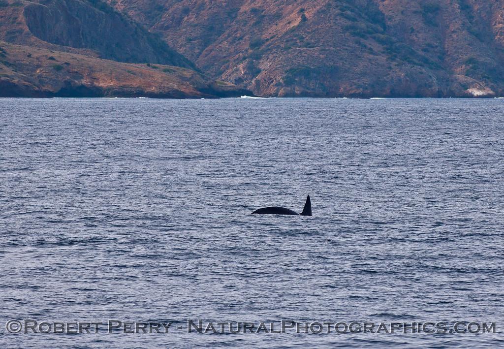 Orcinus orca & Sta Cruz Island 2015 12-05 SB Channel-187