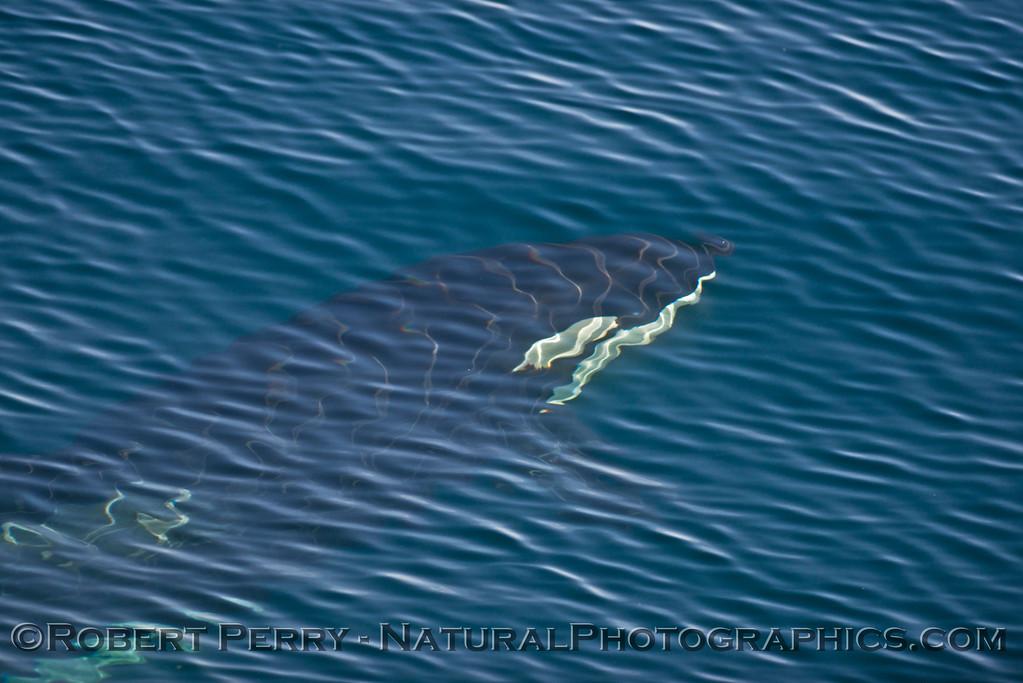 Orcinus orca UW 2013 12-27 SB Channel-215