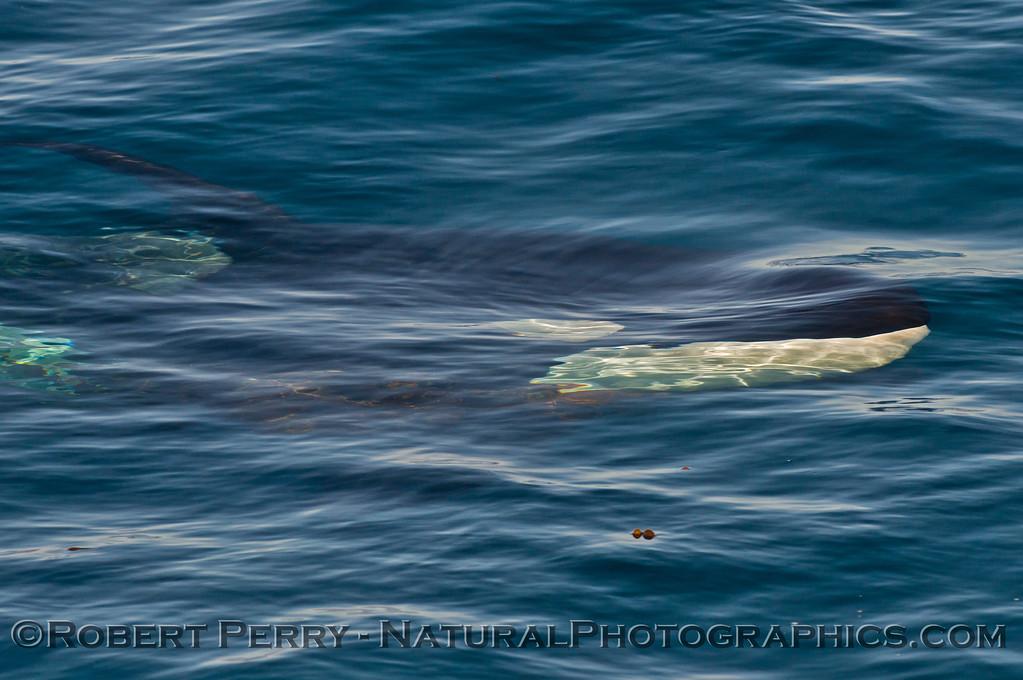 Orcinus orca UW 2013 12-30 SB Channel-283