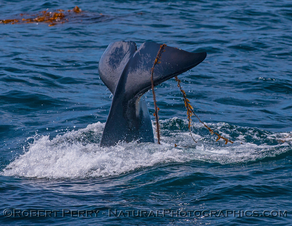 Orcinus orca kelping Macrocystis 2016 09-13 SB Channel -c- 017