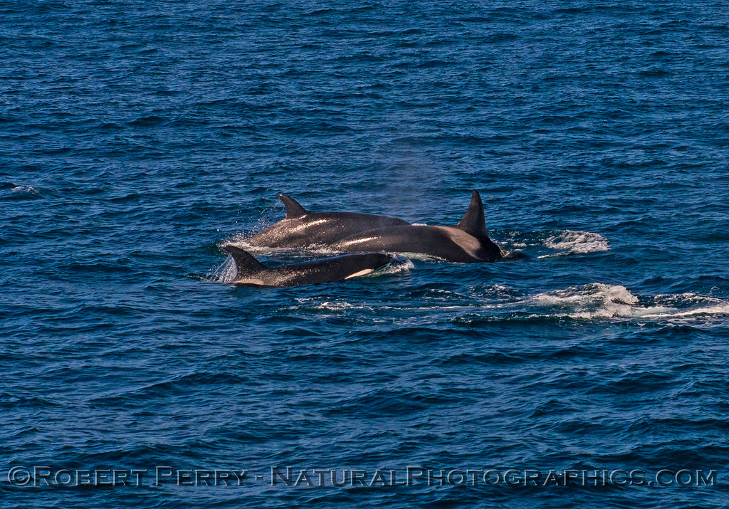 Orcinus orca 2016 09-13 SB Channel -a- 107