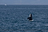 Orcinus orca spyhop 2016 04-19 Monterey Bay-102