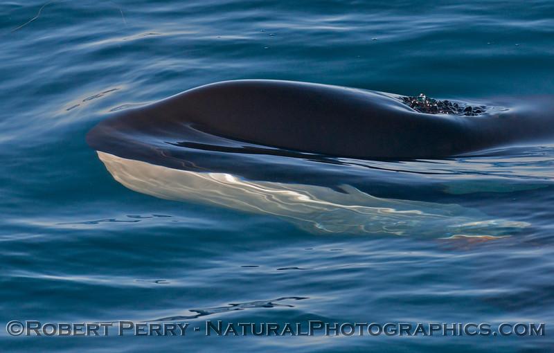 Orcinus orca head UW 2013 12-30 SB Channel-246