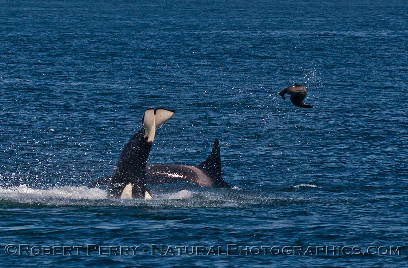 Orcinus orca feeding throwing Mirounga angustirostris 2016 04-19 Monterey Bay-close-009