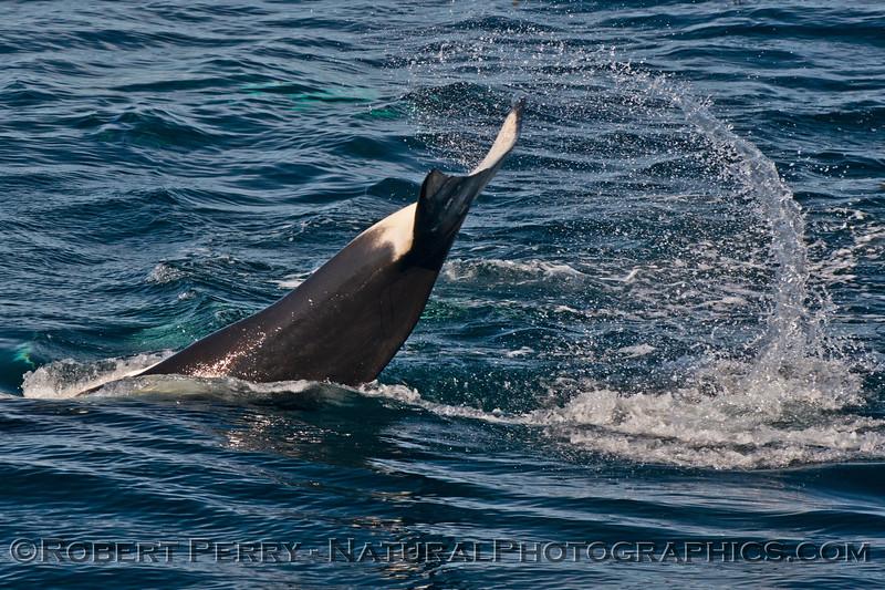 Orcinus orca tail slap 2013 12-30 SB Channel-398